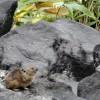 夕張山地のエゾナキウサギ【コラムリレー第12回】