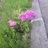 「百花繚乱(りょうらん)・植物たちの華麗な戦い―道端の帰化植物をながめる―【コラムリレー第16回】