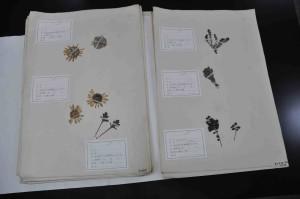 昭和初期のカムチャツカ半島で採集された標本(帯広市児童会館所蔵)