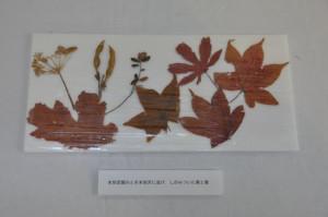 本別空襲を伝える押し葉(本別町歴史民俗資料館所蔵)