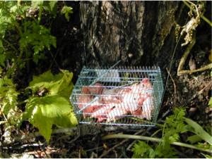 大山緑地で用いたベイトとラップ(鶏肉)。ファーブルが庭に置いたモグラと同じしくみで昆虫を採集することができる。