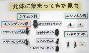 大山緑地で採集された腐食性昆虫