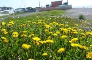 苫小牧市内有明海岸のシコタンタンポポの群落(2011年6月撮影)