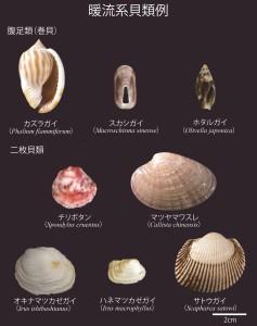 図3 暖流系貝類例