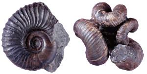 図1 正常巻アンモナイト(左)と異常巻アンモナイト(右) 左の標本のように殻が平面らせん状に巻かれたものを正常巻アンモナイトと言う。一方、右の標本のように、一見するとうまく表現できない巻き方をする種類も存在する。このような平面らせん状に巻かないものを異常巻アンモナイトと言う。異常という言葉が使用されているが、病的な奇形ではなくれっきとしたアンモナイトの種類だ。