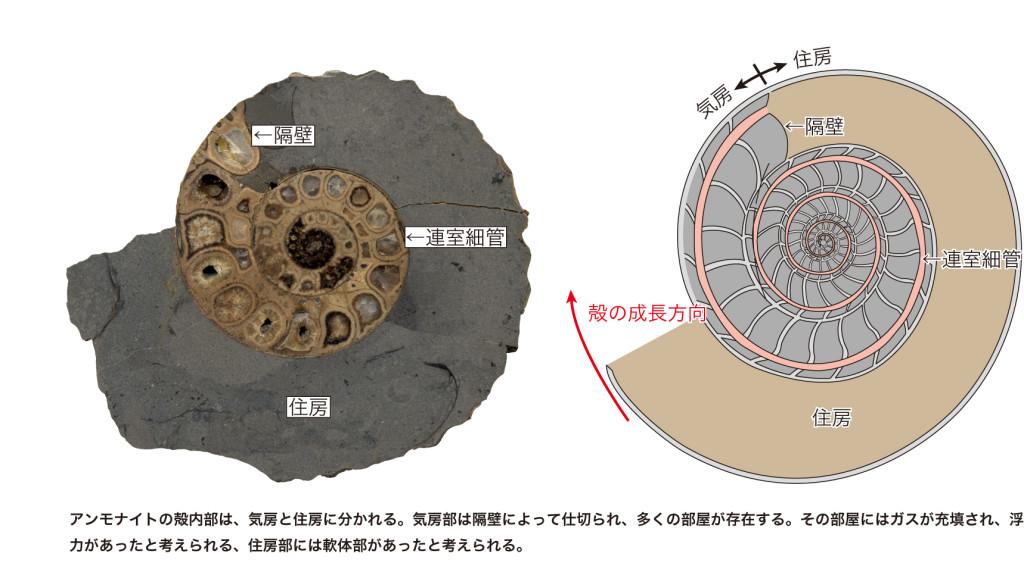 図2 アンモナイトの殻断面(左)と模式図(右)