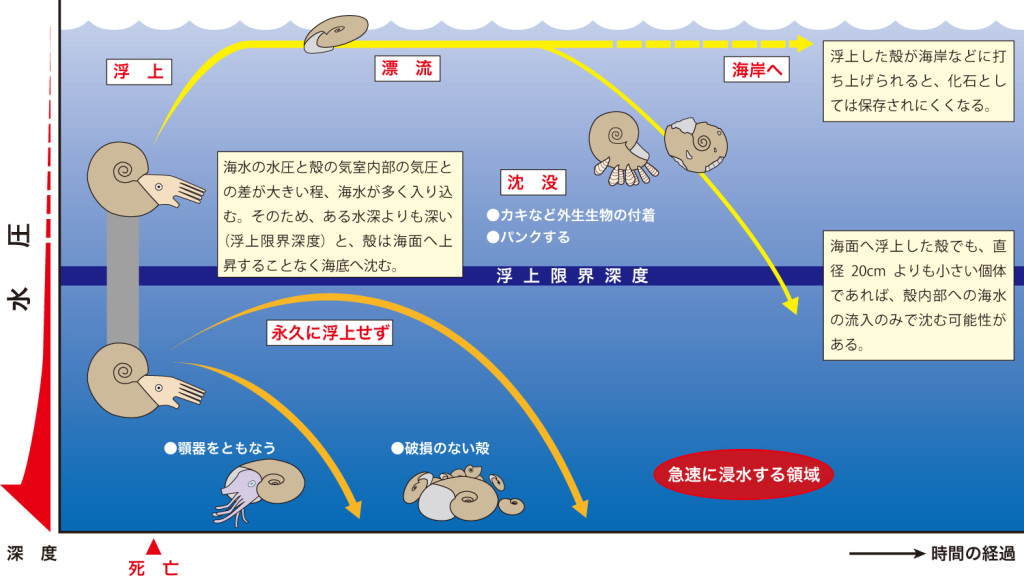 図4 アンモナイトの死後、殻が海底に沈むまでの過程(Maeda and Seilacher, 1996を改作)