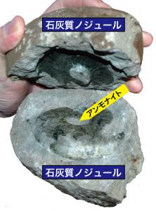 図5 石灰質ノジュール中から産出する北海道のアンモナイト