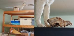 エゾオオカミと呼ばれた北海道犬(剥製,中に入っていた頭骨)札幌市博物館活動センター所蔵