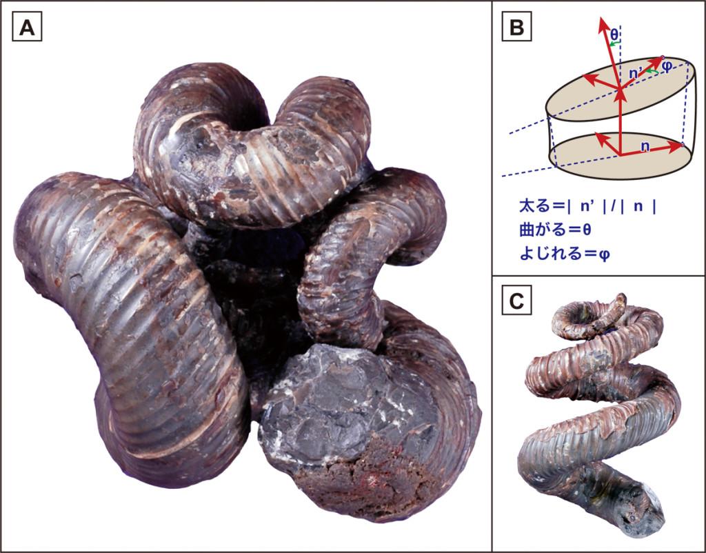 【A】ニッポニテス ミラビリス(Nipponites mirabilis) 【B】成長管モデル(Okamoto, 1988a) 【C】ユウボストリコセラス ジャポニカム(Eubostrychoceras japonicum) ユウボストリコセラス(C)からニッポニテス(A)へ進化したことがコンピューターシミュレーションから示された(両標本とも三笠市立博物館で展示中)