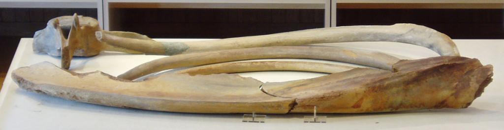 砂丘の周辺の地下から発見されたクジラの骨。
