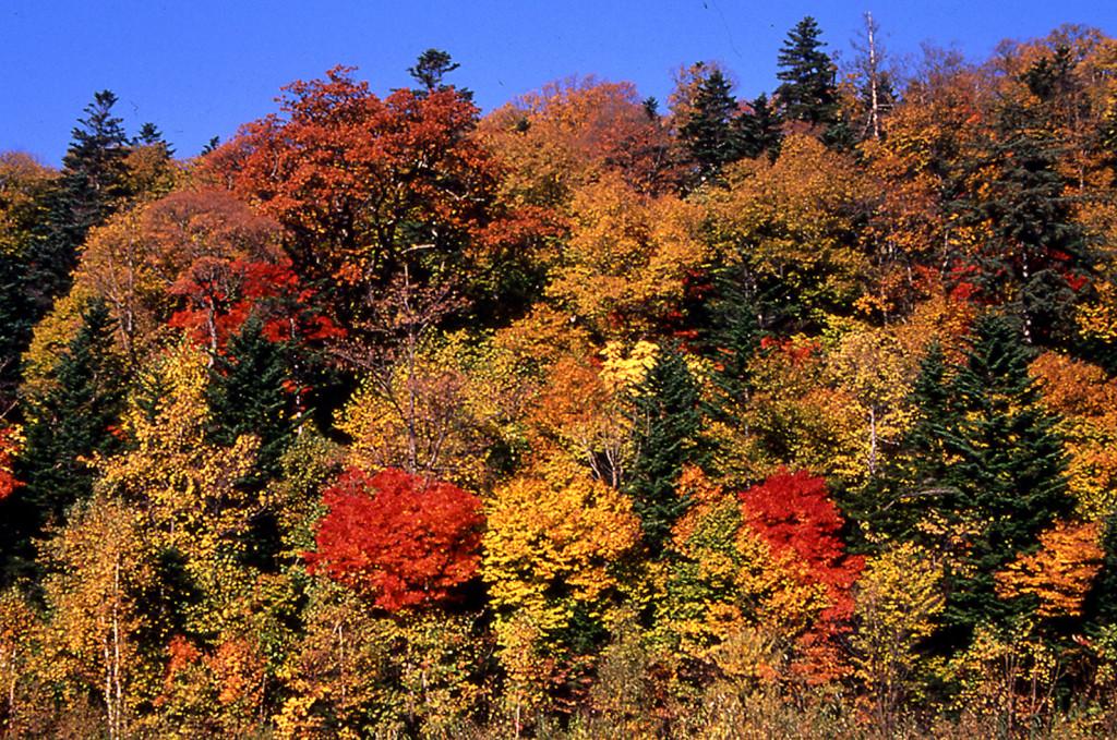 富良野市東山・神社山保存林の針広混交林(撮影:倉橋昭夫さん)
