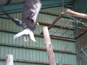 おびひろ動物園で36年前に保護されたオオワシのヒロコさん