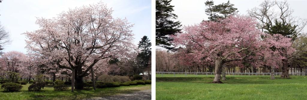 写真3 百年桜(左)と長寿桜(右)