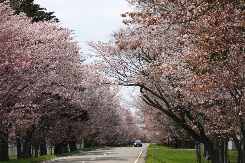 写真1 H25年の桜並木