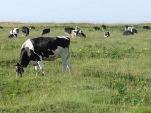 「川西牧野の放牧の様子」