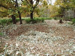 「まだまだ見つかる竪穴住居群」(中央で笹の葉がたまっている窪みが竪穴住居跡)