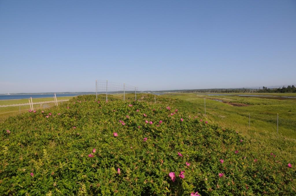 写真4.花を咲かせる柵内のハマナス