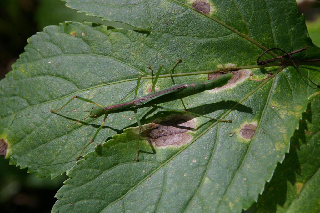 オタモイ地区に生息するシラキトビナナフシ