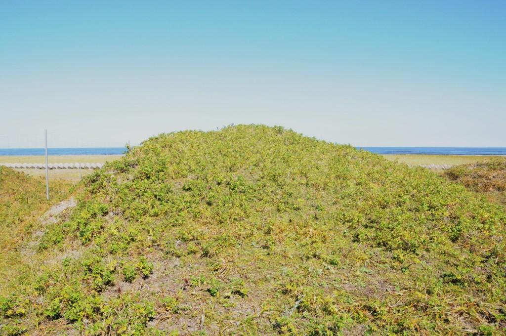 写真2. ハマナスが矮小化した現在の春国岱第一砂丘