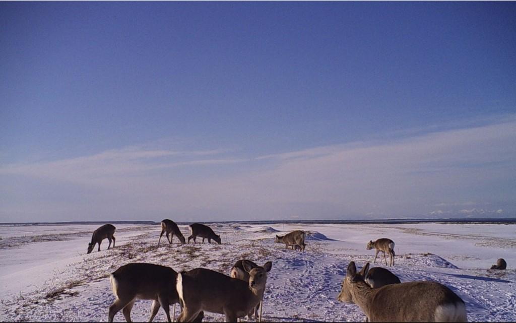 写真3. 冬季にハマナスを採食するエゾシカの群れ