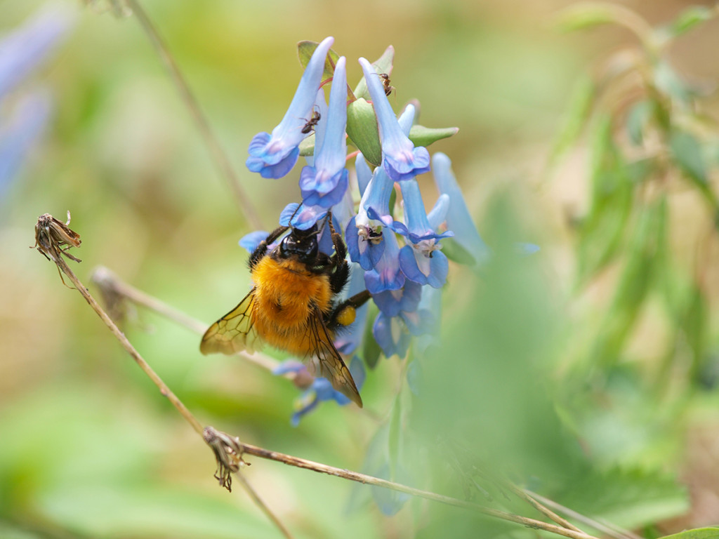 上方へ移動しながら蜜を吸う、アカマルハナバチ