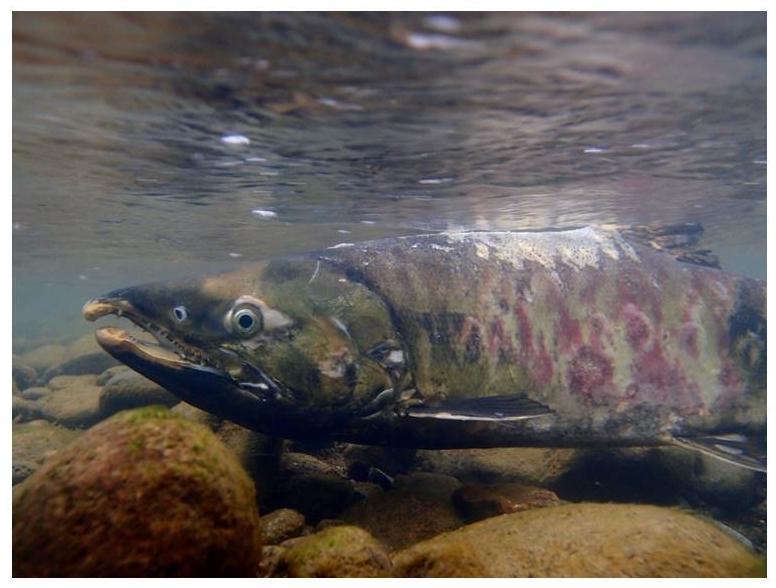 豊平川で自然産卵するサケ